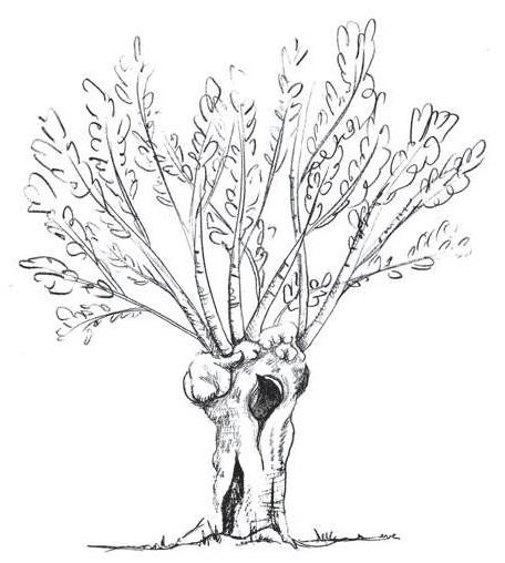 arbre tetard, trogne, gentiana