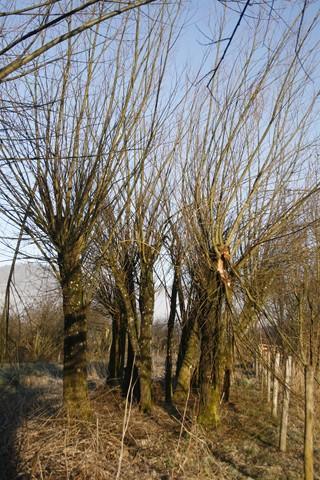 Arbres étêtés pour former de futurs têtards (N. Biron CEN Isère-AVENIR)