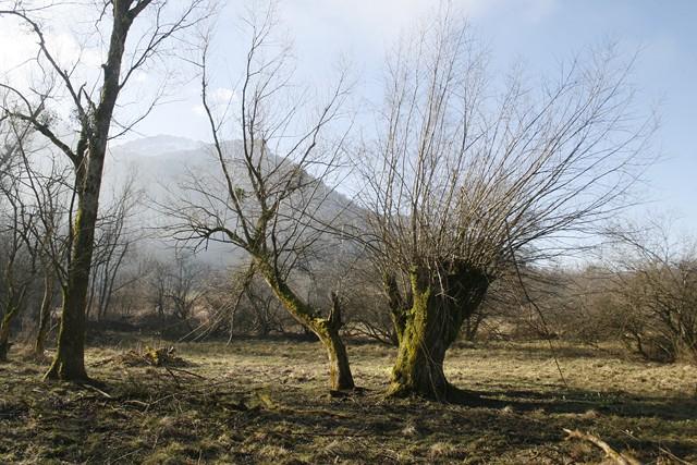 Vieux saule têtard sur le site de la tourbière de l'Herretang et de la Tuilerie