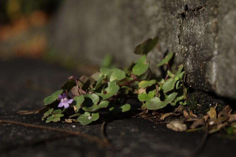 rencontres botaniques alpines sauvages de ma rue flore urbaine