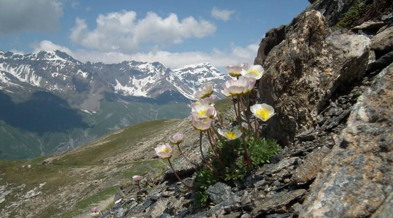 rencontres botaniques alpines flore alpine renoncule des glaciers gentiana