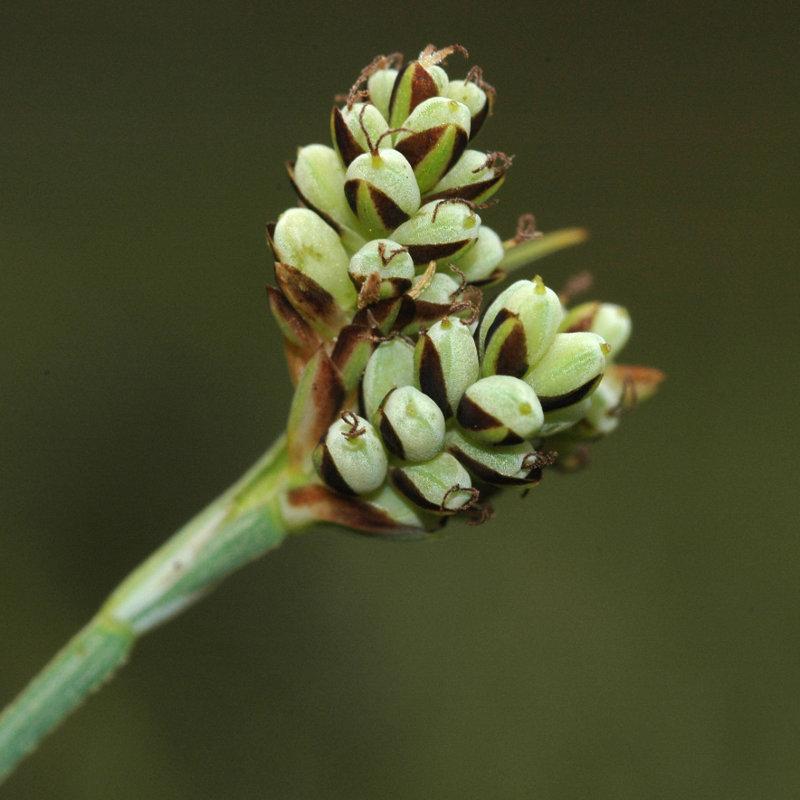 Laîche bicolore (Carex bicolor)
